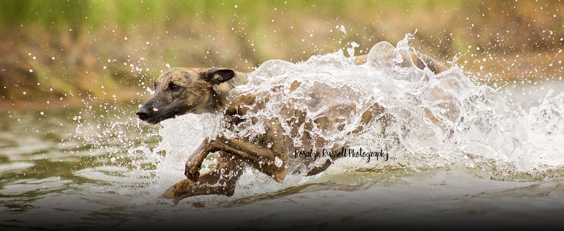 Whippet running and playing in water Off leash Training