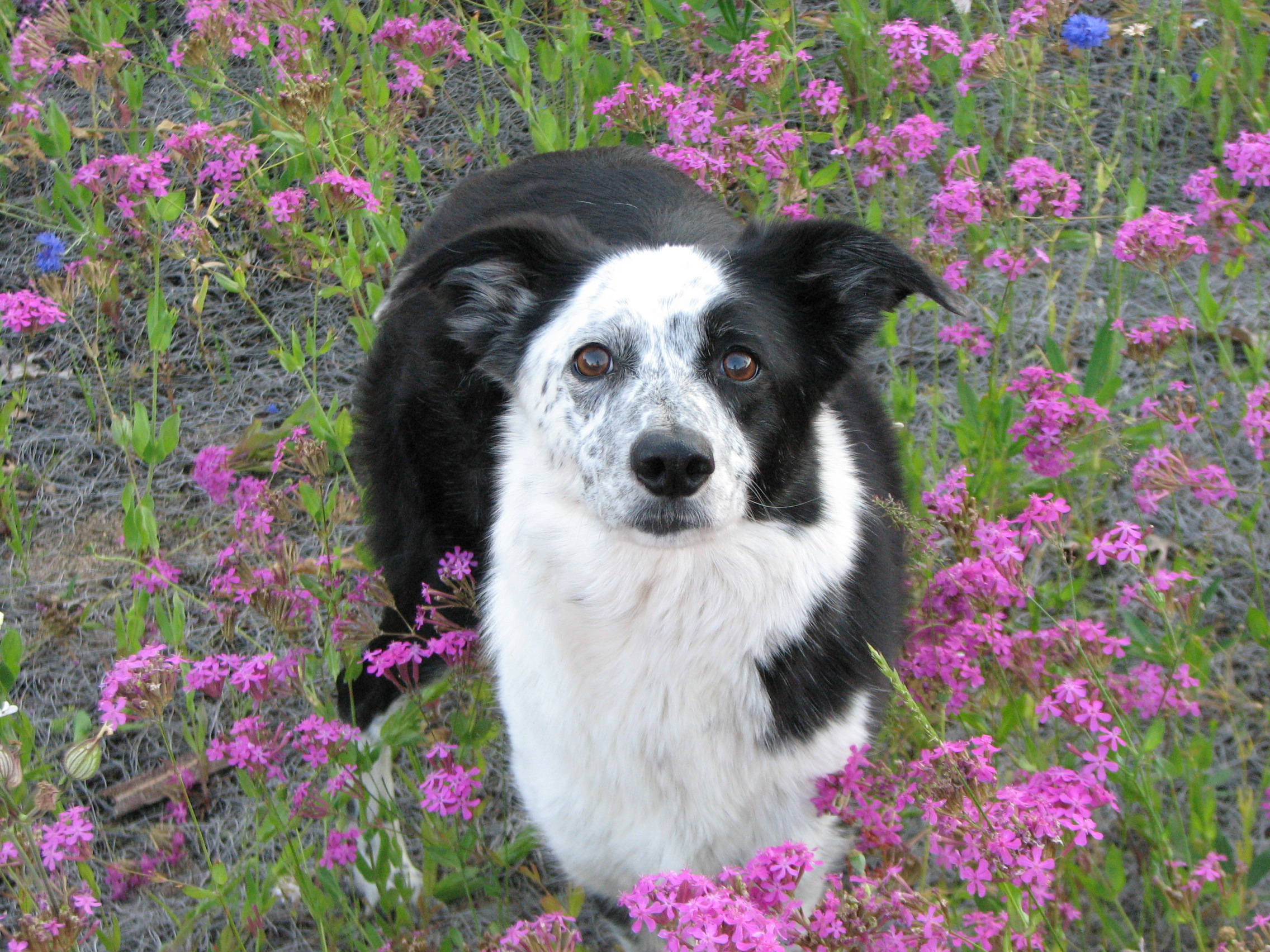 Border Collie Standing in a field of Flowers