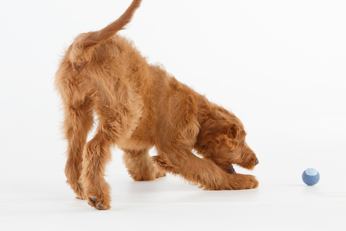 Ruby Golden Doodle chasing a ball