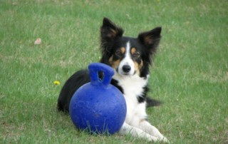 Border Collie with Blue Ball Obedience Training